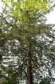 Picea abies koruna stromu